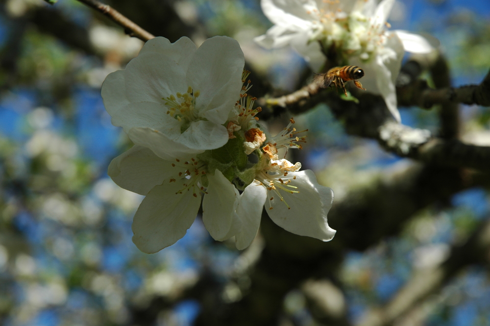 One of our honeybees collecting pollen from a Gravenstein apple blossom