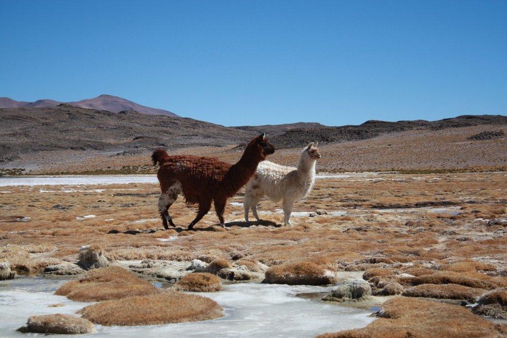 Une fibre naturelle rare - L'alpaga est un animal rare vivant presque exclusivement au Pérou, où nos écharpes sont par ailleurs filées et tissées de manière traditionnelle. La fibre d'alpaga est parmi les plus luxueuses au monde. A titre de comparaison, la production de cachemire est 2 fois supérieure en quantité.Par ailleurs, la production d'alpaga est considérée comme étant beaucoup plus respectueuse de l'environnement.