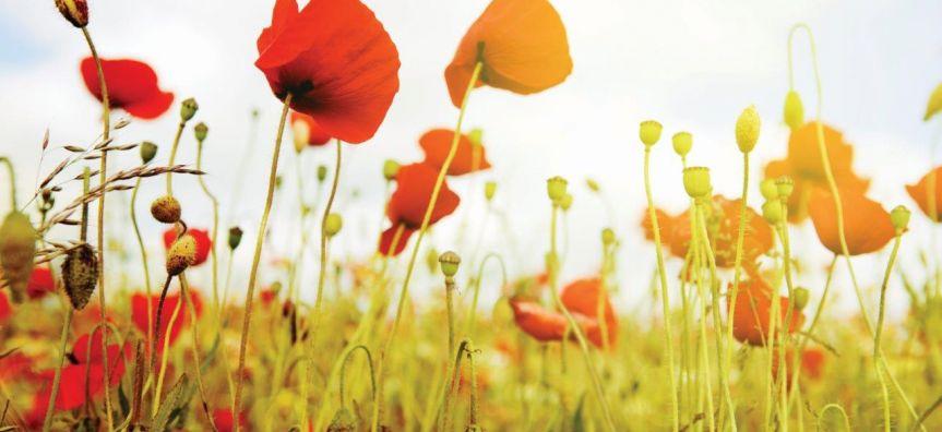 remembrancedaypoppies.jpg