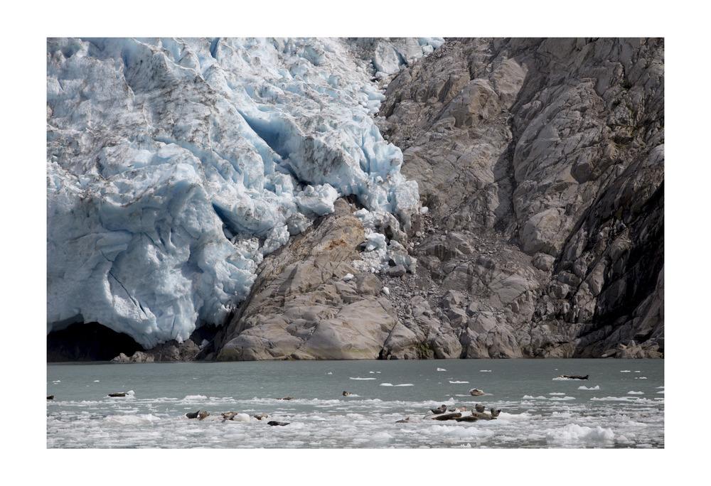 Harbor seals in front of Northwestern Glacier. Kenai Fjords National Park,Alaska.