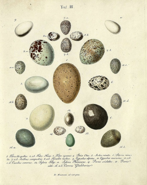 "proustitute: buried-denmark: Hand-coloured engravings of birds' eggs by J. F. Naumann, 1818 [prompted by mpdrolet's word suggestion: ""pebble""]"