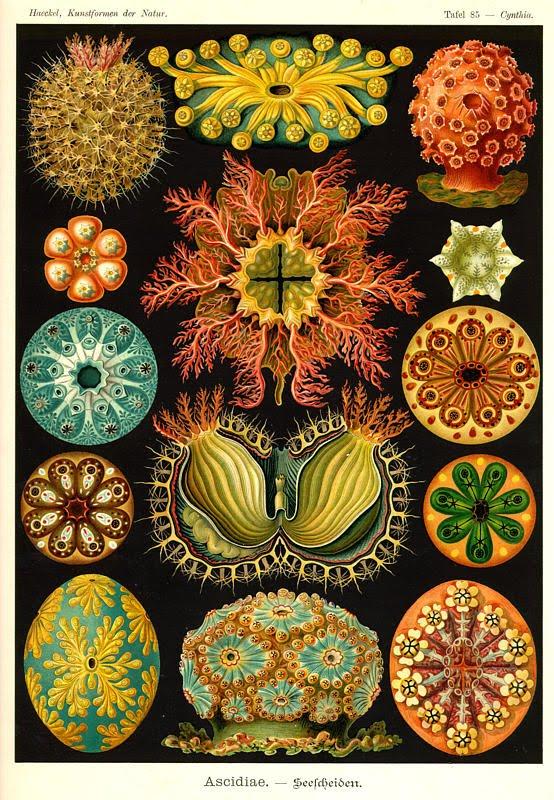 nevver: Ernst Haeckel
