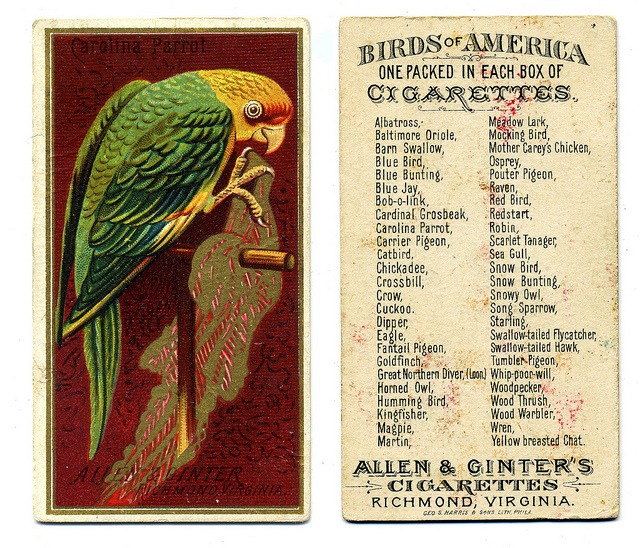 Carolina Parrot (parakeet), Allen & Ginter cigarette card, 1888 by crackdog on Flickr.