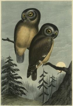 heracliteanfire: Kirtland's Owl (Nyctale kirtlandii) (via NYPL Digital Gallery | Detail ID 112445)