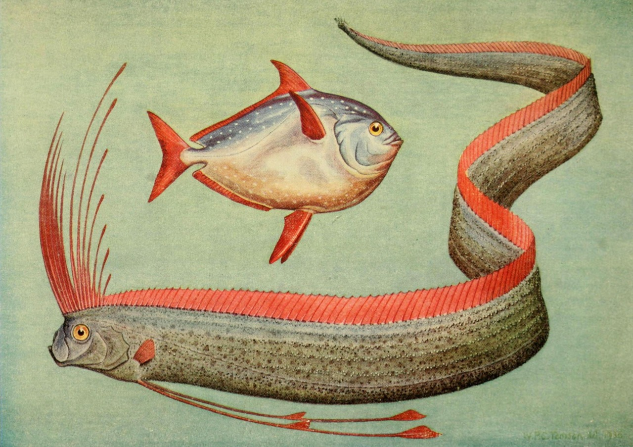 freakyfauna :       From the  Fieldbook of Giant Fishes.  Illustration by W.P.C. Tenison.   Found  here .
