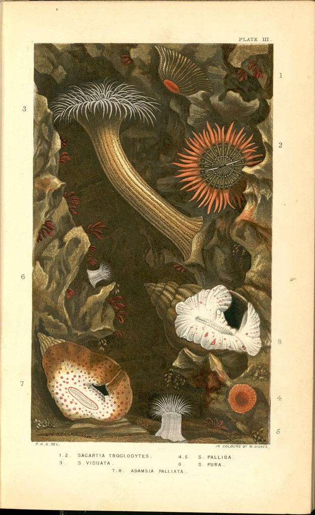 jamreilly :     Chromolithograph from  Actinologia Britannica  (1860),   prepared by W.Dickes from Philip Henry Gosse's own designs and drawings.   via  Bibliodyssey : Friendly Anemones
