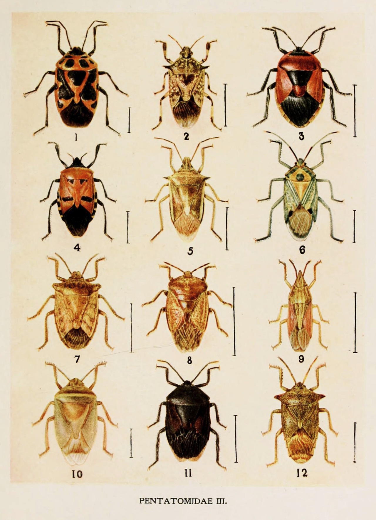 heaveninawildflower:  Picture from book Indian Insect Life: a Manual of the Insects of the Plains by Harold Maxwell-Lefroy (1909). http://biodiversitylibrary.org/item/80025 Wikimedia