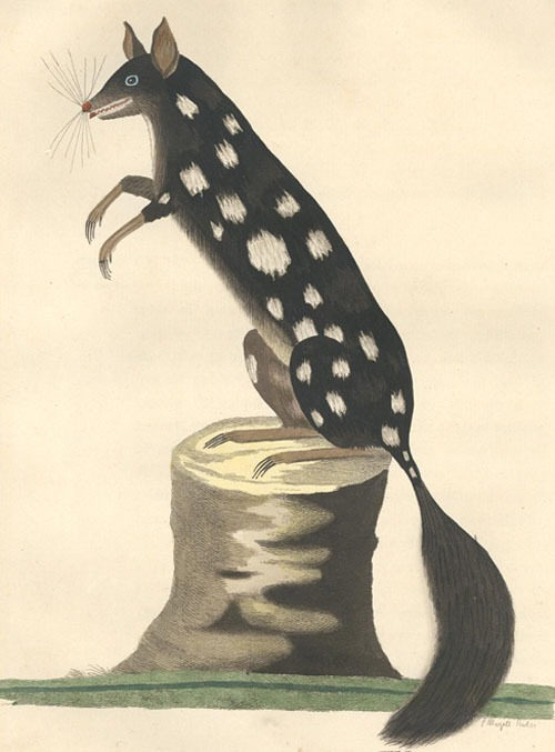 freakyfauna :      ivelostmyshirtandtrousers :      rhamphotheca :      letspretend :     The Spotted Opossum, for so it may properly be named, is in length from the nose to the extremity of the tail about twenty-five inches, of which the tail itself takes up about nine or ten.   — From  The Voyage Of Governor Phillip To Botany Bay            (via  freakyfauna )