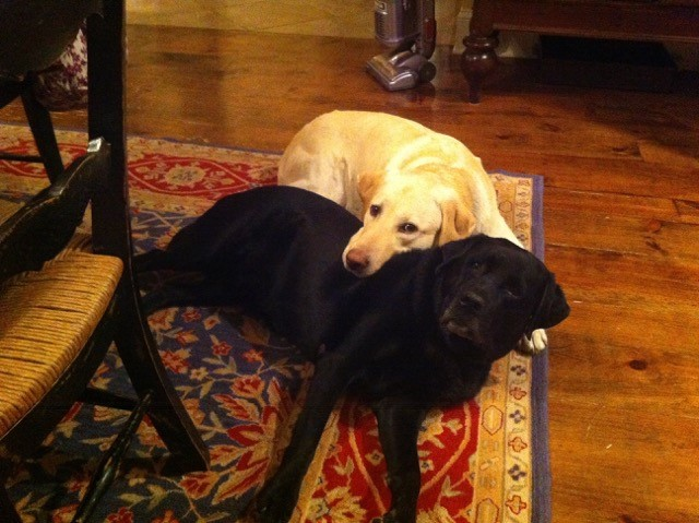 George, the yellow Lab, resting his head on Polly.