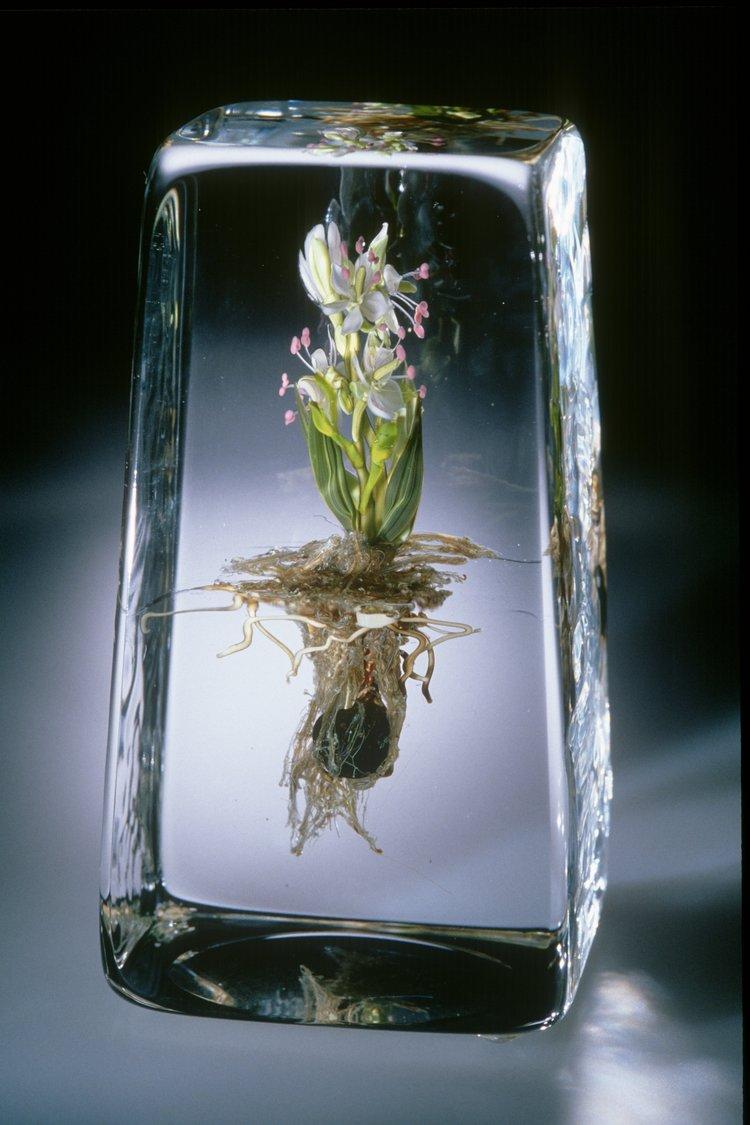 2000;  Spring Beauty Plant;  H. 5,5 pouces