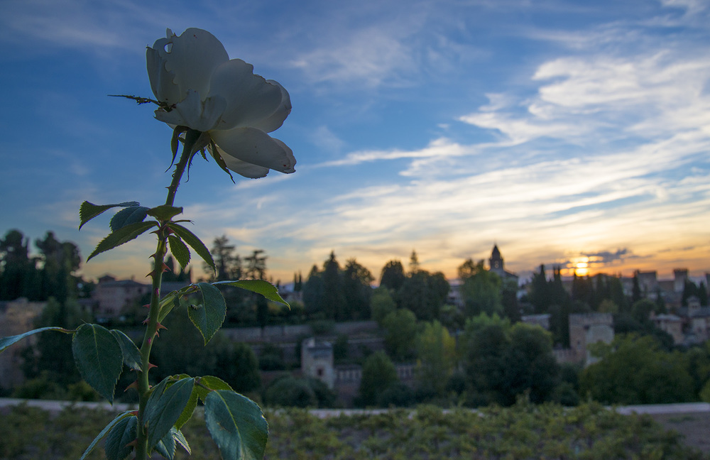 Flower in the Lower Gardens of the Generalife at sunset, Granada