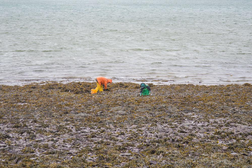 Fisherman digging for shellfish along the coast of Dingle, County Kerry,Ireland