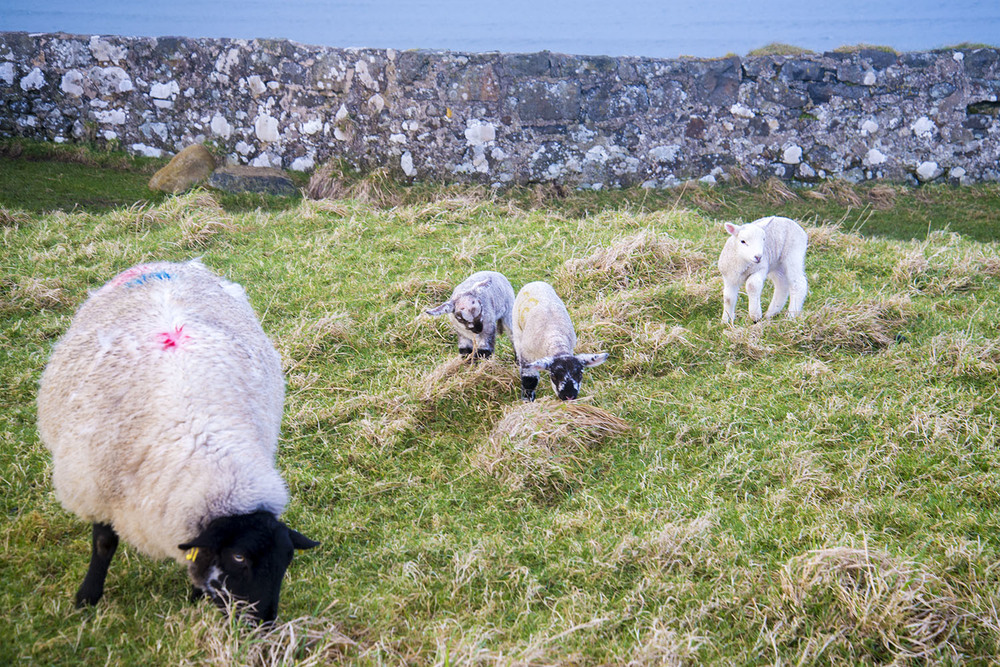 Family of sheep grazing at Downhill Estate, County Londonderry, Northern Ireland