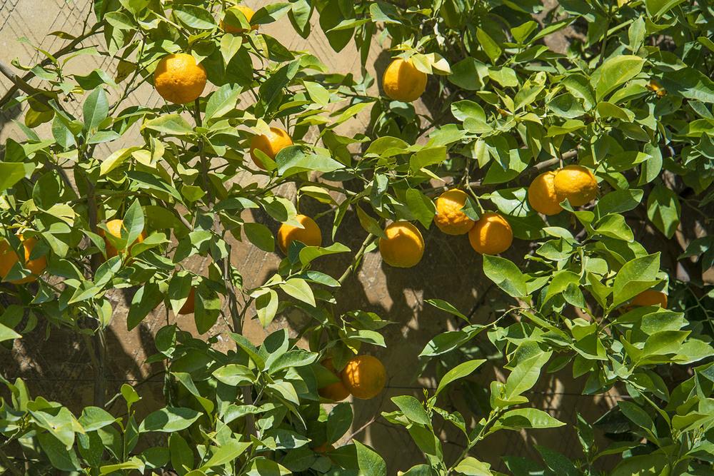 Orange trees at Giardini di Boboli, Firenze, Tuscany