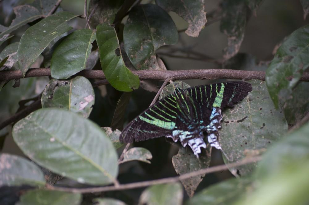 TigerButterfly.jpg