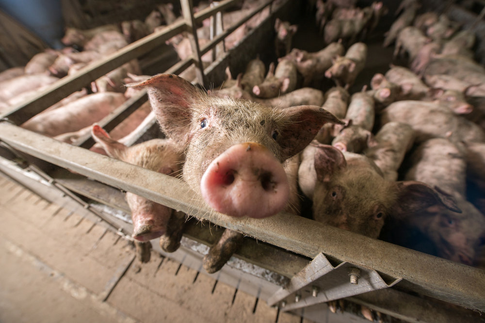 the conditions of animals in factory farming in the united states in the pig picture a documentary b Sometimes referred to as factory farming now, over 99% of livestock are  united states federal  animals living under intensive conditions are.