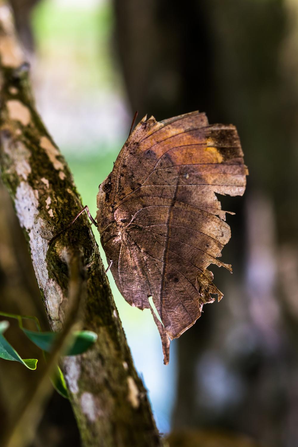 本想到竹東露營順便找油桐花步道,今年因缺水桐花花期慢2-3個星期,所以沒能拍到滿山滿谷的桐花。此刻也正是蝴蝶的季節,這隻枯葉蝶 (dead leaf butterfly) 體貼我沒有敵意,也可能以為祂偽裝的很好!