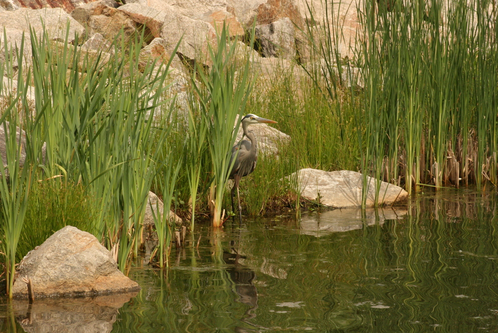 IMG_4794 Blue Heron by dam.JPG