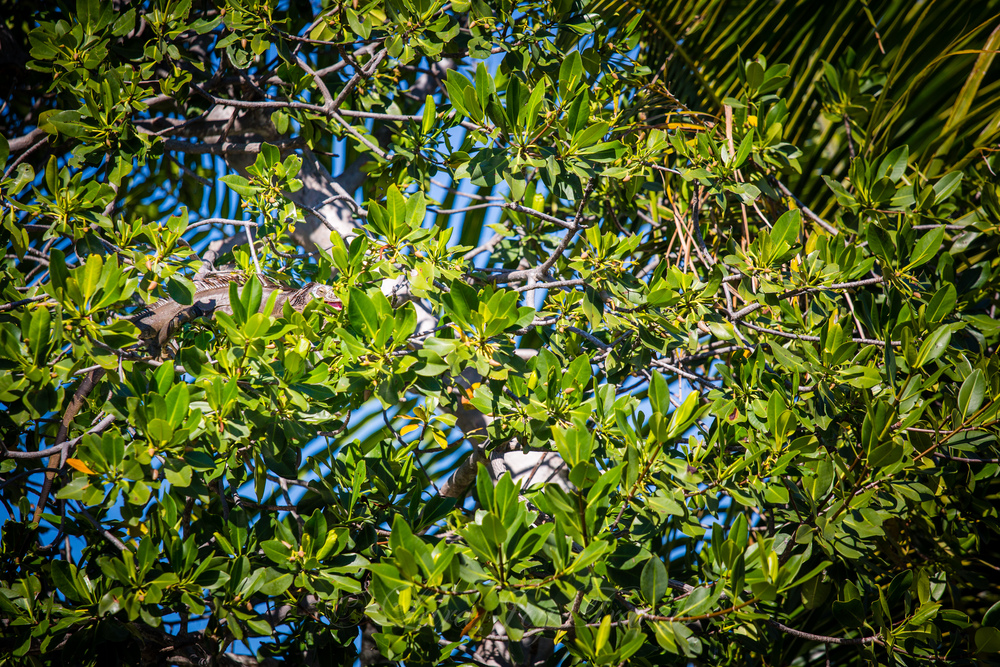 There were actually 3 iguanas relaxing in this tree but I only have one in the frame.  Can you find him?