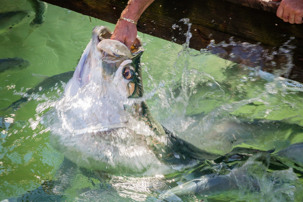 This tarpon overshot his goal. That's the boat captain's hand  in his mouth .   It's OK if you scream.  I did.