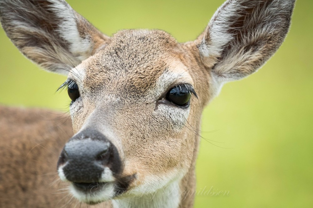 Even though the Key deer are friendly, and trot right up to you, they are wild, and shouldn't be fed or petted.