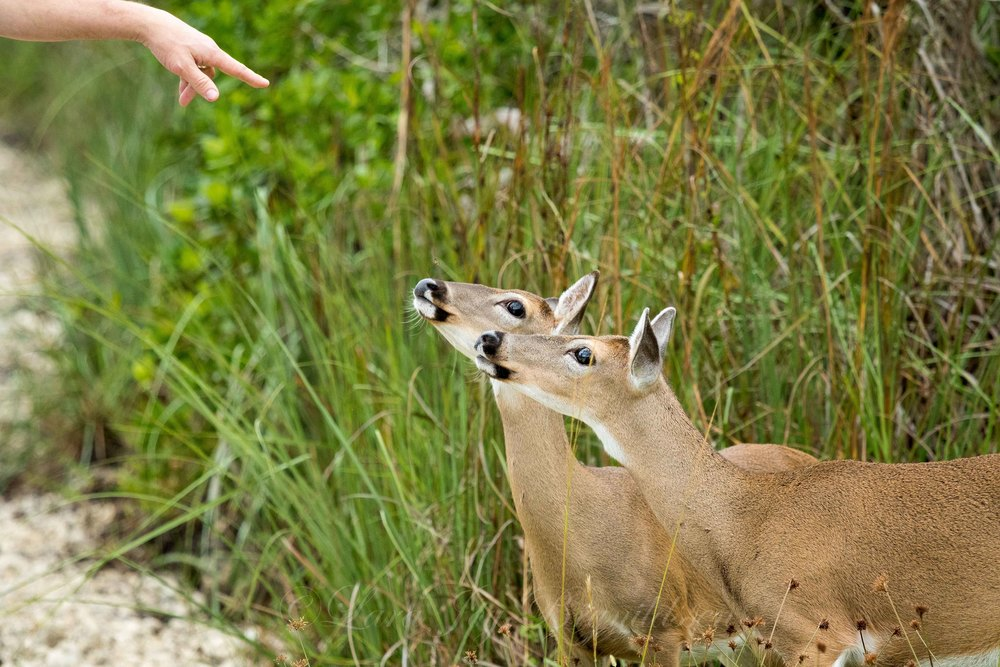 The carload of people who pulled up behind us gave the deer their leftovers from lunch. Don't do that if you go, ok? I do like that this image shows you the scale of the deer. The gesture of the hand also reminds me of  this .