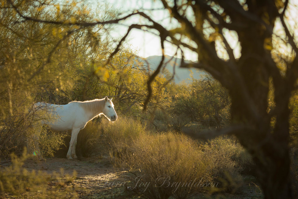 Salt River wild horse, Tonto National Forest, Arizona