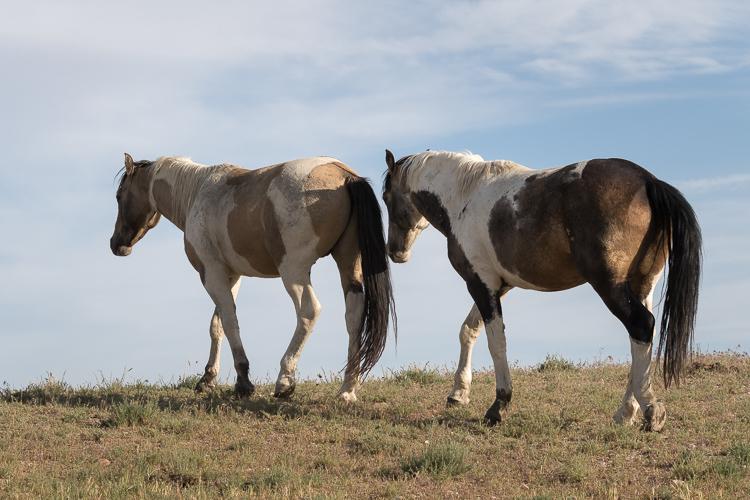 Onaqui-Wild-Horses-51.jpg
