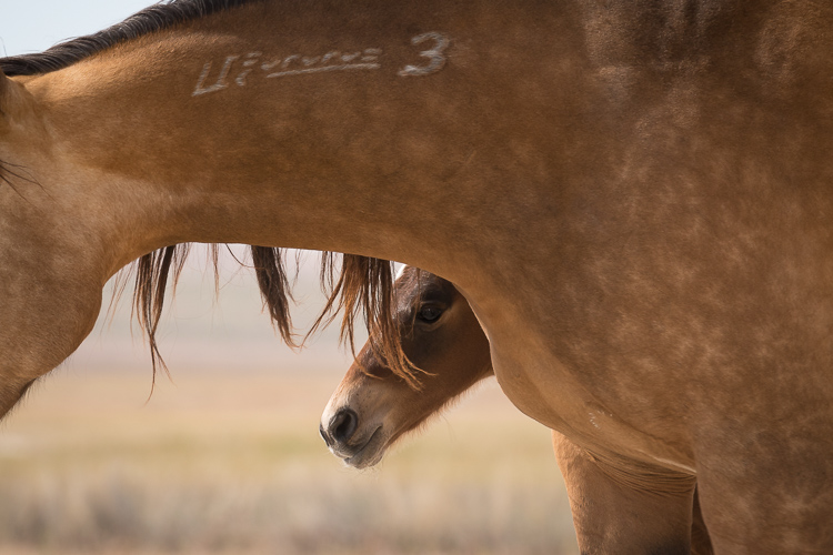 Onaqui-Wild-Horses-72.jpg