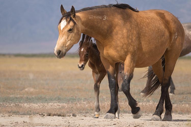 Onaqui-Wild-Horses-71.jpg