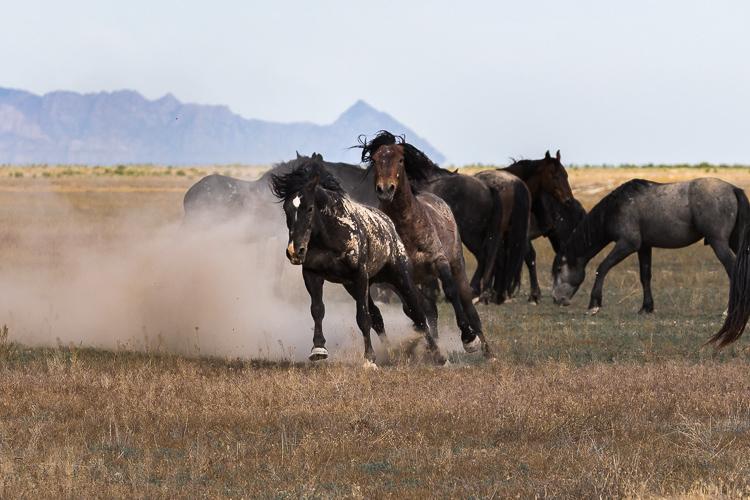 Onaqui-Wild-Horses-77.jpg