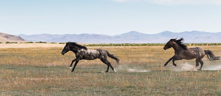 Onaqui-Wild-Horses-79.jpg