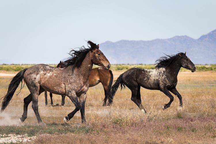 Onaqui-Wild-Horses-81.jpg