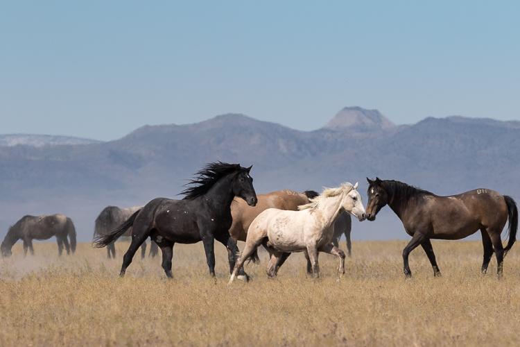 Onaqui-Wild-Horses-84.jpg