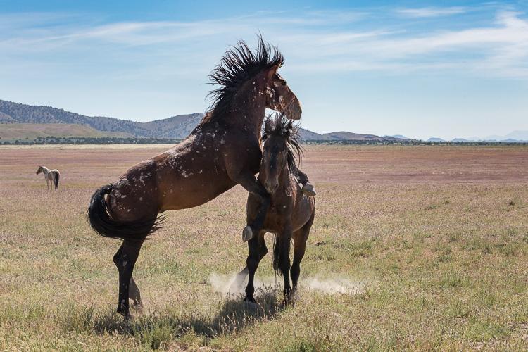 Onaqui-Wild-Horses-97.jpg