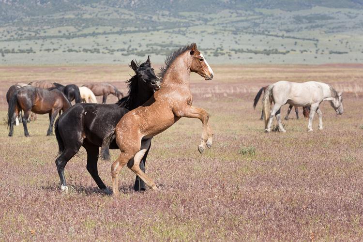 Onaqui-Wild-Horses-105.jpg