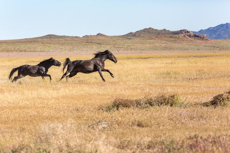 Onaqui-Wild-Horses-113.jpg