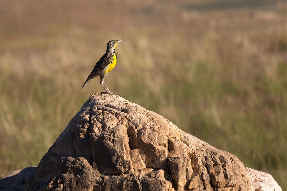 yellow-bird-antelope-island-state-park