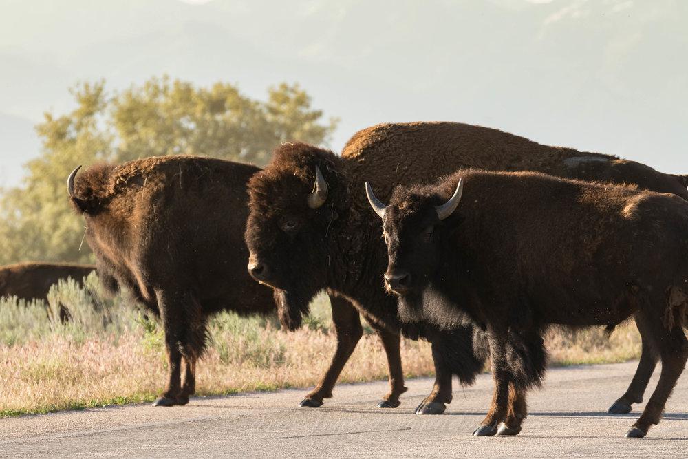 buffalo-traffic-jam-antelope-state-park-utah