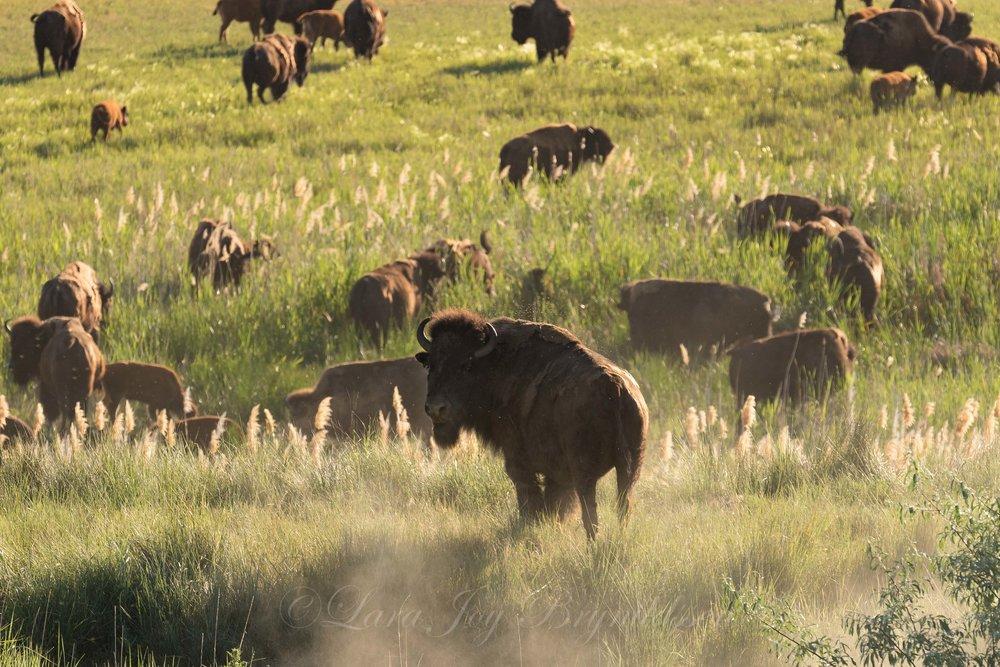 dusty-buffalo-antelope-island-state-park