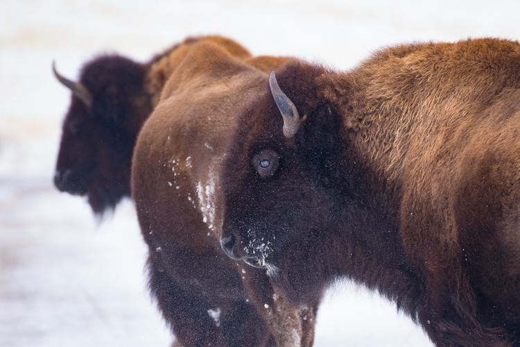wild-buffalo-antelope-island-state-park-winter