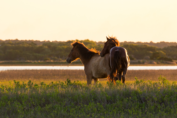 Wild banker stallion and mare, Carrot Island, NC.