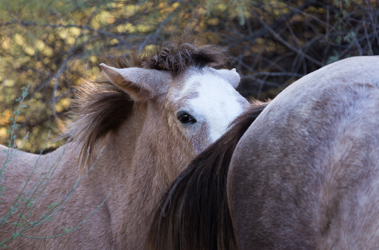 SALT-RIVER-WILD-HORSES-TONTO-NATIONAL-FOREST-ARIZONA-78.jpg