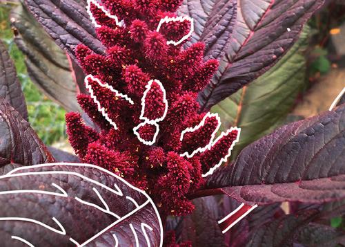 elena s red amaranth epic seeds