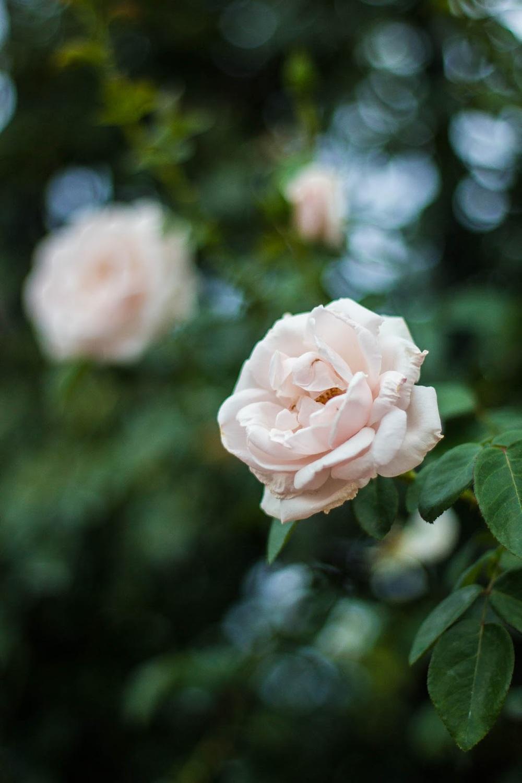 wilson nc rose garden canon 50mm f/1.8