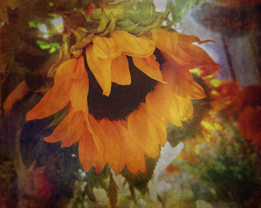 Sunflower Glow-85.jpg
