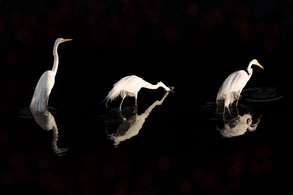 Egrets (series of 3)-166.jpg