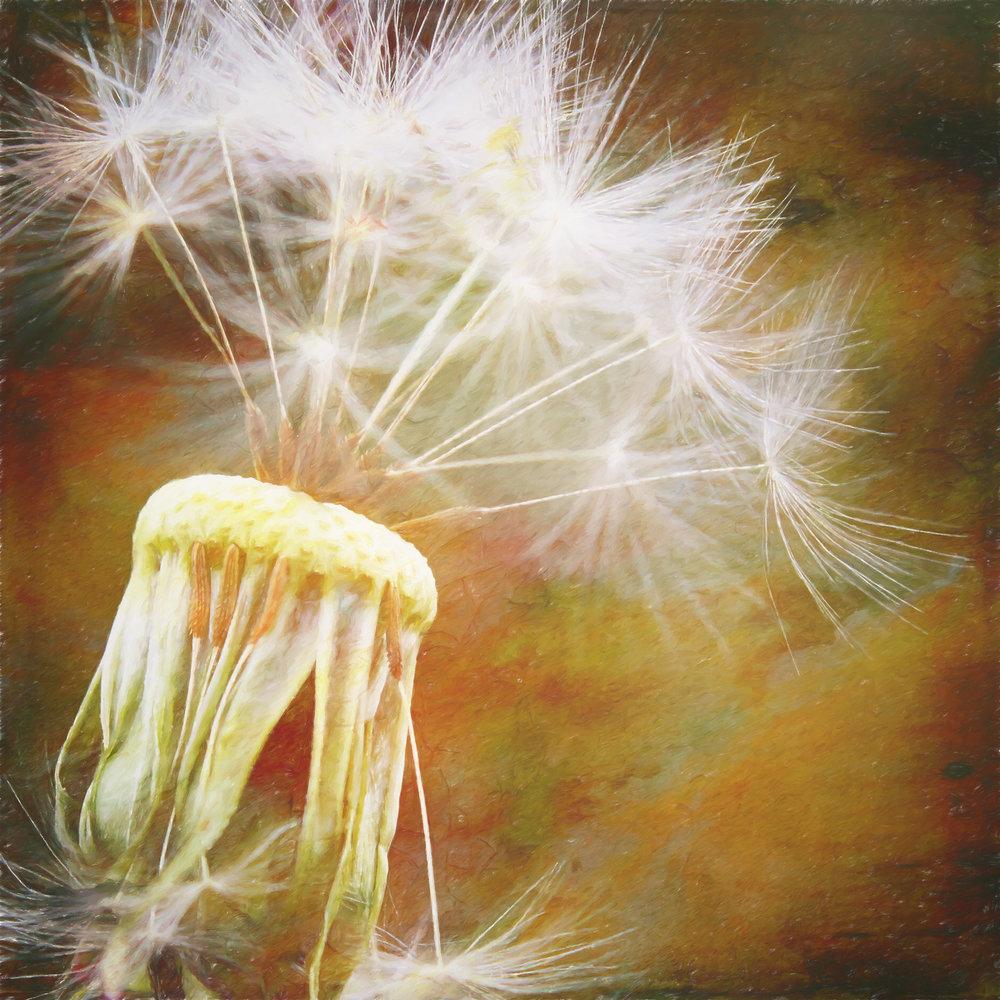 Dandelion-180.jpg