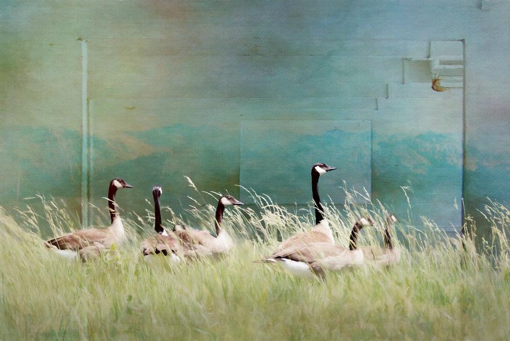 Iowa Geese-229.jpg