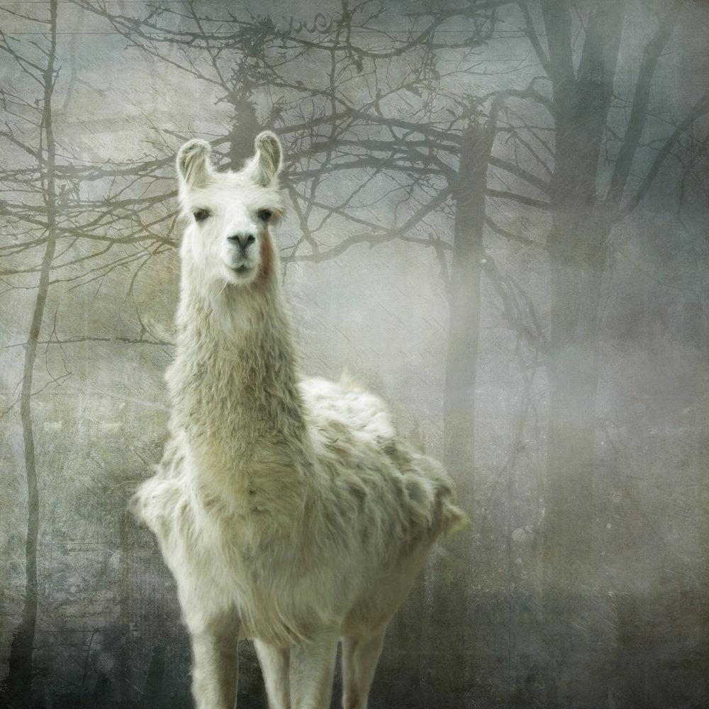 Llama-236.jpg